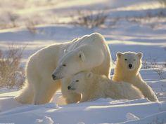 mamma-orso-polare-con-cuccioli