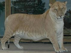 Liger this one is the biggest