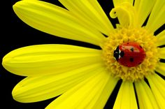 Ladybug on yellow daisy  by Michael Flick, via Flickr ,,, In many countries a symbol of good luck !