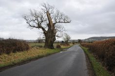 Old oak near Haresfield by Philip Halling, via Geograph