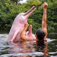 The Pink Amazon River Dolphin lives only in freshwater. It is found throughout…