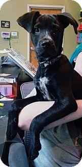 Kansas City, MO - Labrador Retriever Mix. Meet Boss, a puppy for adoption. http://www.adoptapet.com/pet/16668925-kansas-city-missouri-labrador-retriever-mix