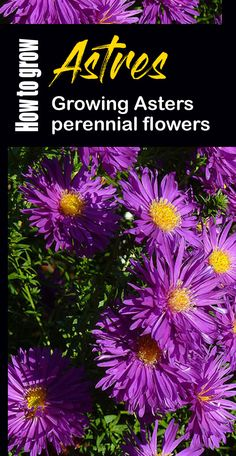 Aster care, Growing Asters, How to grow Aster perennial, pests, and disease advice by our experts. aster is easily grown by seed. Perennial Flowering Plants, Flowers Perennials, Planting Flowers, Perennial Gardens, Aster Flower, Jade Plants, Flower Landscape, Lavender Buds, Outdoor Plants