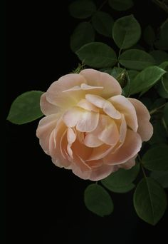 """English Rose by Alyson Fennell - Photo 262321211 / """"Iceberg"""" article image- 「アイスバーグ」記事の画像 """"Iceberg"""" article image - 'Apricot English Rose' by Alyson Fennell 'Amaretto' Flowers Nature, Exotic Flowers, Amazing Flowers, Beautiful Roses, Beautiful Flowers, Rose Wallpaper Iphone, Flower Wallpaper, Rosen Tattoo Vintage, Rose Tattoo Traditional"""