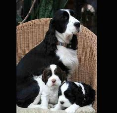 Piper's Springers  - English Springer Spaniels -   Piper's Lady Liberty and two of her babes  photo by Tasmin Brown