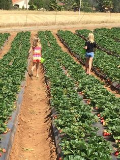 UPick Strawberry Farm in Fallbrook, Temecula area. Great fun for kids in Southern California. Murrieta California, Temecula California, Fallbrook California, California With Kids, California Dreamin', Weekend Trips, Weekend Getaways, Weekend Fun, School's Out For Summer