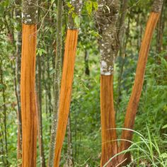 Get your own fresh, organic cinnamon on hand by growing your own Cinnamon Trees! Fast Growing Trees, Evergreen Trees, Neem Oil, Garden Tools, Flora, Berries, Spices, Old Things, Gardening