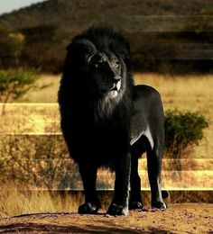 Un lion noir (montage photo) Animals And Pets, Baby Animals, Funny Animals, Cute Animals, Nature Animals, Beautiful Creatures, Animals Beautiful, Lion Noir, Lion Tigre