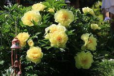 пион Bartzella: 10 тыс изображений найдено в Яндекс.Картинках Peony Care, Peony Bush, Yellow Peonies, Tree Peony, Peonies Garden, Fall Plants, Planting Seeds, Shrubs, Bloom
