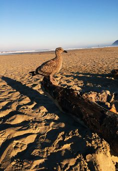 Who doesn't love a little company in the morning? The seagulls here in Cannon Beach are practically tame, but be careful they are known to steal picnics!