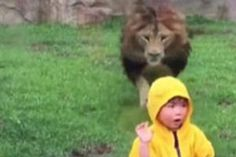 A Lion charges a toddler in a Zoo in Japan