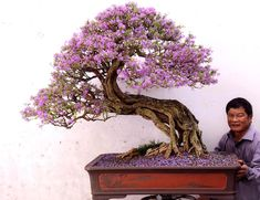 Jacaranda bonsai