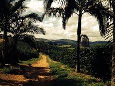coffee plantation in Brazil