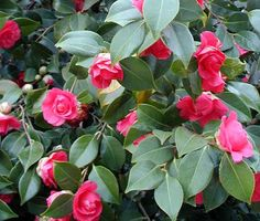 Camelia - Camellia - Theaceae -
