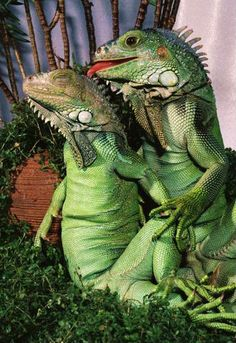 Cool iguanas!