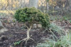 Buxus microphylla Kingsville:  Deer Resistant Japanese Kingsville boxwood bonsai is an evergreen shrub with dense canopy of tiny dark green leaves supported by attractive old looking trunk.