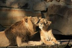 lions in love | Flickr - Photo Sharing!