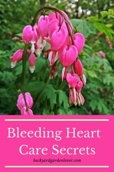 House Garden Design Add some beautiful bleeding heart flowers to your landscape or some hanging baskets on your porch. They are easy to care for, and GORGEOUS! Also, learn the meaning of the delicate pink and white flowers. Flowers Perennials, Planting Flowers, Flower Gardening, Organic Gardening, Shade Perennials, Gardening Tips, Gardening Gloves, Gardening Supplies, Vegetable Gardening