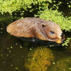 Add some fun to your garden with thise floating beaver...how much fun ...