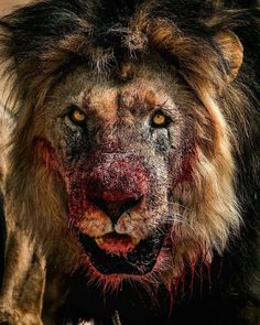 Insane Photos And Videos That Reveal The Brutal Side Of Nature - Memebase - Funny Memes Nature Animals, Animals And Pets, Cute Animals, Fierce Animals, Wildlife Nature, Lion And Lioness, Lion Pictures, Daily Pictures, Lion Art