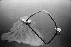 Marilyn Silverstone INDIA. Kashmir. Srinagar. Dal Lake. The head of a frozen lotus.