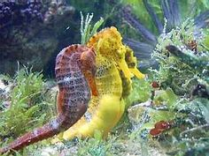 I love seahorses. I had in the past, three that I raised and they were the most beautiful and peaceful creatures. Salt Water Fish, Salt And Water, Beneath The Sea, Under The Sea, Seahorse Facts, Saltwater Tank, Sea Dragon, Underwater Life, Oceans Of The World