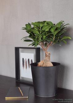 Groen wonen | Ficus Ginseng=Woonplant vd maand juli - Stijlvol Styling woonblog www.stijlvolstyling.com