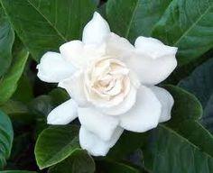 gardenia - edible