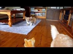Ernie and Ozzy vs. the stuffie #corgi