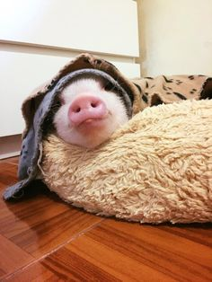 So, you would like to have an animal, but not a barking dog, nor a cat.and you've been thinking about mini pigs. Well, you should read this! Cute Baby Animals, Animals And Pets, Funny Animals, Pet Pigs, Baby Pigs, Miniature Pigs, Teacup Pigs, Mini Pigs, Cute Piggies