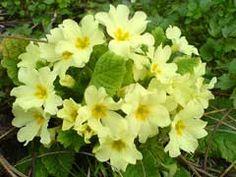 Primula vulgaris Primrose, Common Primrose, English Primrose