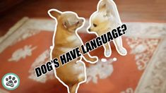 Dogs have language? | Pomchi and chihuahua interact with each other | Do... Kind Reminder, Forms Of Communication, Minka, Lany, Chihuahua, Language, Christmas Ornaments, Holiday Decor, Dogs