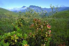 Fynbos ( indigenous Bush vegetation) - South Africa, via Flickr.