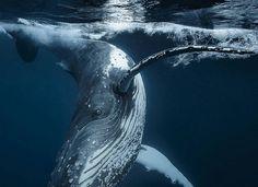 "Gefällt 5,043 Mal, 13 Kommentare - Wildlife Animals & Nature (@wildlife.hd) auf Instagram: "". VERY PLAYFUL HUMPBACK WHALE. Photo by @kluge_photo Taken in Tonga last seasons migration, this…"""