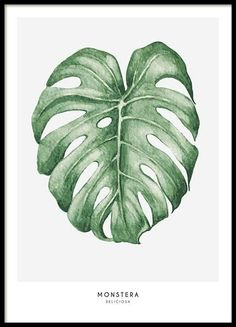 A botanical poster with illustration of monstera leaves on a light background. Nice print that looks good on a picture wall with other botanical prints. More prints online can be found at desenio. Illustration Botanique, Plant Illustration, Illustration Pictures, Art Floral, Faux Philodendron, Impressions Botaniques, Illustrations Poster, Poster Prints, Art Prints