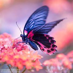 Black Butterfly   Pink   Dreamy Copyright Lizemijn Libgott https://instagram.com/lizemijn
