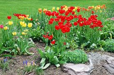 See the spring tulips in Tulip Gardenscape by Aimee Maher #tulips #tulip #garden #flower #floral #flora #photography #photograph