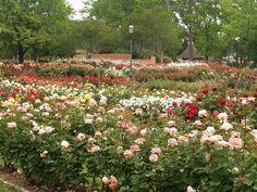 tyler texas rose garden | Tyler Texas Municipal Rose Garden