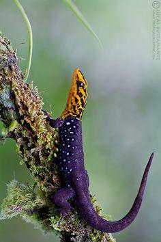 ˚Shieldhead Gecko (Gonatodes caudiscutatus) Ecuador by Lucas M. Bustamante @ flickr