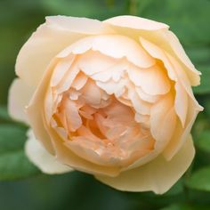 Wollerton Old Hall - David Austin Roses