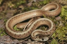 Identified many of these in Clare County, Michigan -- probably the most common snake I've seen with Garter Snakes being a close second || Northern Brown Snake by Nick Scobel, via Flickr
