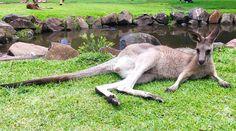 Not exactly a #bunny but he'll do just fine lol   #HappyEaster #spring #kangaroo #currumbinwildlifesanctuary #Australia #GoldCoast by shiapo1 http://ift.tt/1X9mXhV