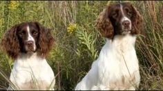 Would you jump at the chance to extend the life of your beloved dog? To discover how, go to http://lovedogs.from.media/go  Top 10 Most Amazing Facts About The English Springer Spaniel - English Springer Spaniel Puppies