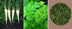 Parsley originates in the Mediterranean region of Europe.  In the past, the Greeks and the Romans attributed parsley supernatural qualities, being considered a real ingredient of immortality but also an ally of youth, beauty and female fertility. With its leaves they used to decorate and flavor foods, but they were also treating snake or scorpion bites. Also, winners were crowned in sports competitions with parsley leaves.