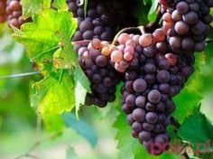 Wino z winogron domowej roboty - przepis -Przepis