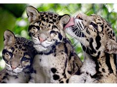 Clouded Leopards Are the Best Animals Ever Created: 10 Reasons Why