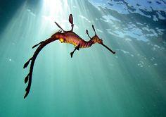 Amazing Ocean Creatures   Deep Sea Creatures   Amazing Sea Dragon Pictures