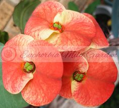 Milii, Crown of Thorns, Poysean: amazing blooms all year round – Euphorbia Milii Garden All Flowers, Exotic Flowers, Crown Of Thorns Plant, Euphorbia Milii, White Highlights, Plant Identification, Plant Pictures, Plant Sale, Growing Plants