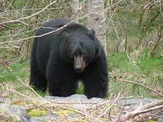 FIELD JUDGING – Black Bear