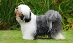 Tibetan Terriers have a nice, middle-of-the-road temperament and are suitable for many types of homes. Learn more about Tibetan Terriers, including grooming, training, health problems, history, adoption, finding a good breeder, and more.